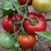 Dieta Mediterránea: Tomates