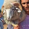 Preparing the Lamb of Sant Joan