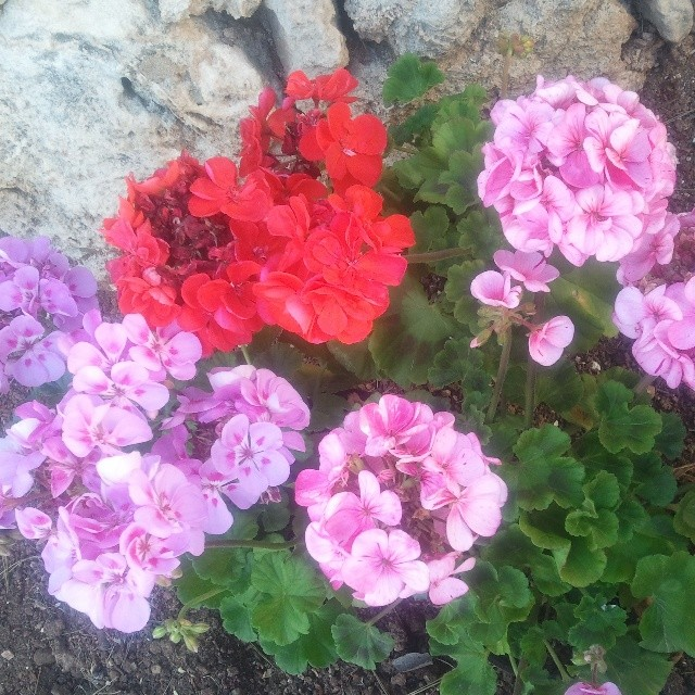 Lo mas buena de primavera en Menorca,  nuestras malvas! The best of spring in Menorca are our Geraniums! #menorca #springtime #menorcablue #geraniums #flowers #flores