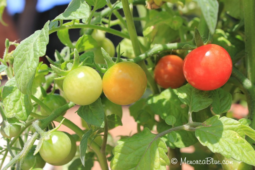 Charmed by Cherry Tomatoes | Menorca Blue