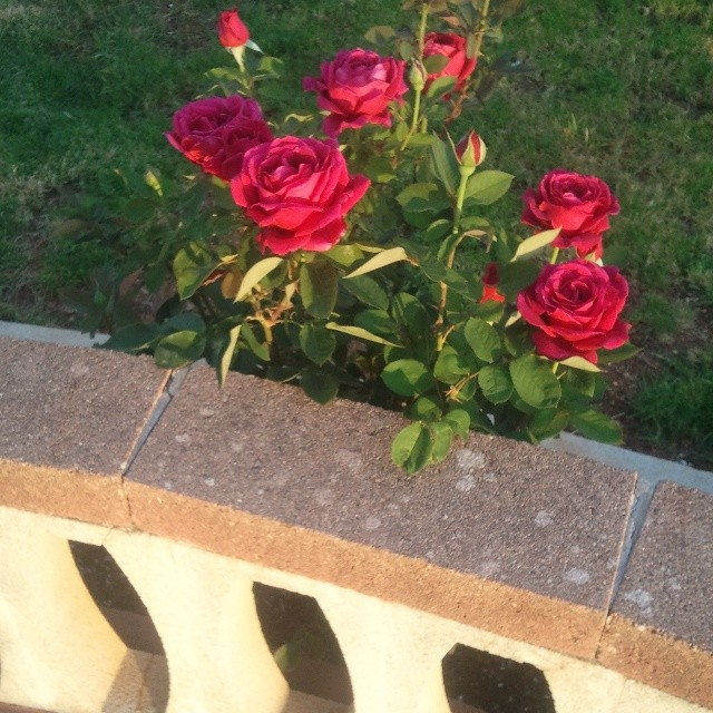 El solecito besando las rosas The late afternoon sun kissing our roses #menorcabluemonday  #mediterranimente #menorca #rosesq