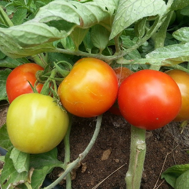 Tomato time! My favourite time of year! Mis tesoros!!