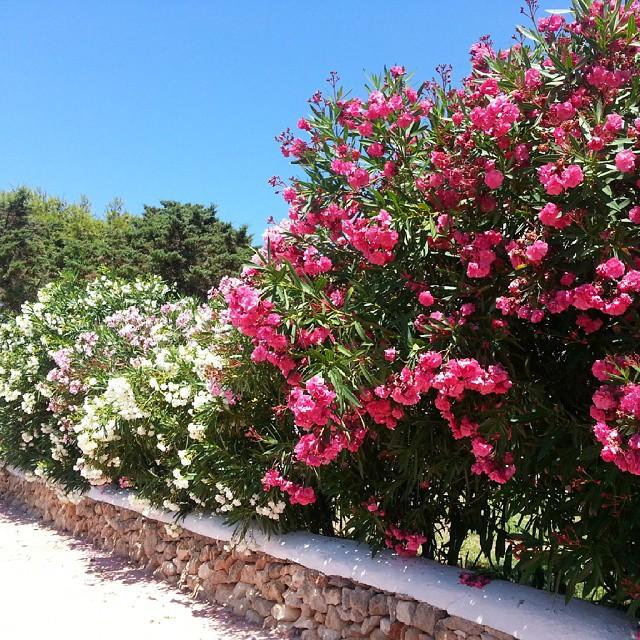 Menorca Summertime.. Our front wall #menorca #menorcablue #mediterranean #oleanders